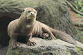 Giant otter Stock Images