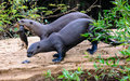 Giant Otter family with kit Royalty Free Stock Photo