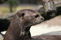 Giant otter head of pteronura brasiliensis Stock Photos