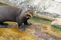 Title: Giant otter
