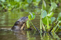 Giant otter spy hopping near water hyacinths this slick waterproofed grown and white striped pops it s head above known as like Royalty Free Stock Photos