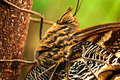 Giant Owl Butterfly Stock Images