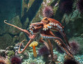 Giant pacific octopus enteroctopus dofleini moving around in his habitat Stock Photos