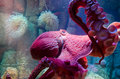 Giant Pacific Octopus Royalty Free Stock Photo