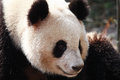 Giant panda 大熊猫 close look at Stock Photography