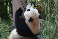 Giant panda 大熊 a eats bamboo leaves Stock Image