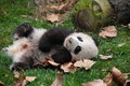 A Giant Panda Stock Images