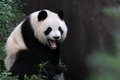 A giant panda Royalty Free Stock Photo