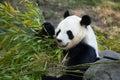 Giant panda Ailuropoda melanoleuca. Royalty Free Stock Photo