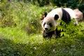 Giant panda bear Royalty Free Stock Photography