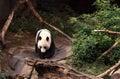 Giant panda bear Ailuropoda melanoleuca Royalty Free Stock Photo