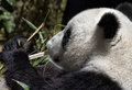 Giant panda bear chews on bamboo at the san diego zoo Stock Photos