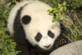 Giant Panda Bear Cub close-up approaching Rock Royalty Free Stock Photo