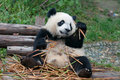 Giant panda bear eating bamboo Stock Image