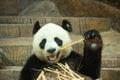 Giant panda bear enjoy eating bamboo Royalty Free Stock Photo