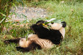 Giant panda bear laying on his back eating at chengdu research base of breeding center in sichuan china Stock Images
