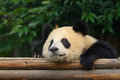Giant panda bear resting at chengdu china Royalty Free Stock Images