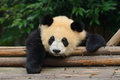Giant panda bear resting at chengdu china Stock Photo
