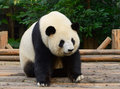 Giant panda bear resting at chengdu china Royalty Free Stock Photography
