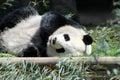 Giant Panda Bear Royalty Free Stock Photo