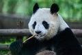 Giant Panda Bear Sichuan China
