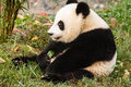 Giant panda bear sits eating greens close up of sitting at chengdu research base of breeding center in sichuan china Stock Images