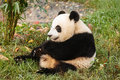 Giant panda bear sits eating greens close up of sitting at chengdu research base of breeding center in sichuan china Royalty Free Stock Photos