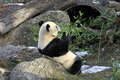 Giant panda bear in Vienna Zoo Stock Photos