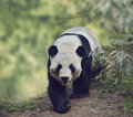 Giant Panda Bear Royalty Free Stock Photo