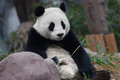 Giant panda cute sitting between the bamboo Royalty Free Stock Photography
