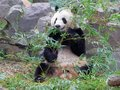 The giant panda eating bamboo Royalty Free Stock Photo