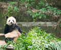 Giant panda eating bamboo Stock Images