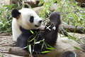 Giant panda eating bamboo ailuropoda melanoleuca Stock Photography