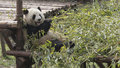 Giant panda eating bamboo Royalty Free Stock Photo
