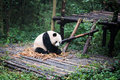 Giant panda eating bamboo Royalty Free Stock Photo
