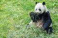 Giant panda while eating bamboo Royalty Free Stock Photo