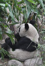Giant panda eating bamboo plants Royalty Free Stock Photo