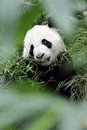 Giant panda in the forest p image of Royalty Free Stock Photos
