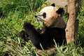 Giant panda the is having bamboo for its breakfast Royalty Free Stock Photography