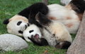 Giant panda with its cub in playing Stock Photos