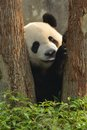 Giant panda netween two trees Stock Images