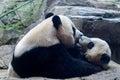 Giant panda newborn baby portrait close up Royalty Free Stock Photo