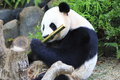 Giant panda rare in forest Stock Photo