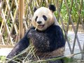 Giant panda at Shanghai wild animal park Royalty Free Stock Photo