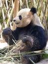 Giant panda at Shanghai wild animal park Royalty Free Stock Photo