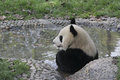 Giant panda taking a bath in a pool Royalty Free Stock Photo