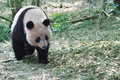 Giant panda a is walking in the forest Royalty Free Stock Photos