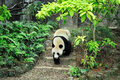 Giant panda walking up and down in zoo Stock Photo