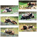 Giant Pandas Collage Royalty Free Stock Photos