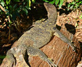 Giant plated lizard on the tree back Stock Images